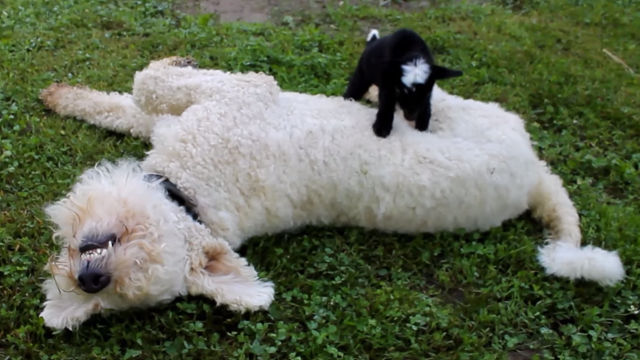 Celebrate the week being half over with this baby goat walking over a large dog.