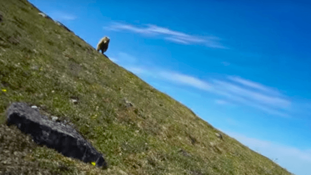 This video of a brown bear charging a hiker and being scared off by curses will wake you the eff up.