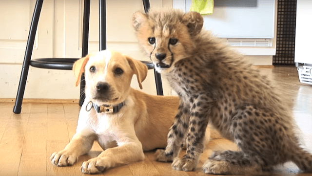 National Geographic explains why this cheetah cub and his puppy best friend get along so well.