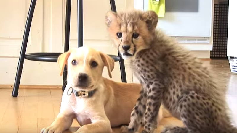 This cheetah cub and puppy are best friends and will probably become a children's book.