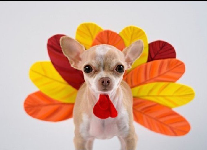 This dog is dressed as a turkey, which they didn't even eat at the first Thanksgiving.