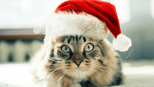 21 funny memes that sum up cats' love-hate relationship with Christmas.