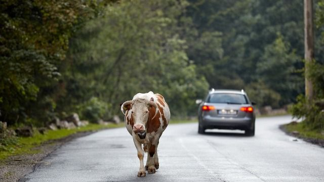 People react to video of 40 escaped cows charging down suburban street.