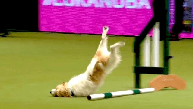 Commentator loses it when overexcited terrier goes nuts on dog agility course.