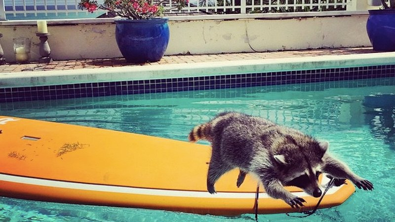 This adopted Bahamas raccoon has a hit Instagram account and a better life than you.