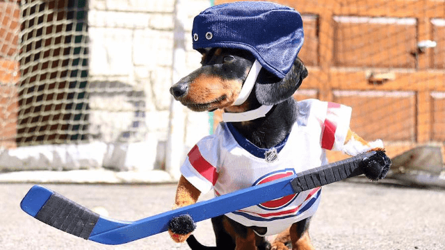 Dachshund hockey will actually make you want to watch hockey.