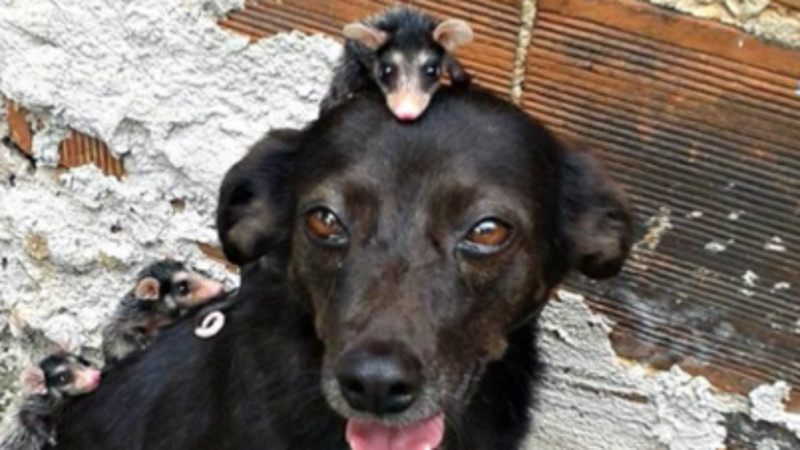 This dog adopted a bunch of orphaned possums. It's both cute and horrifying.