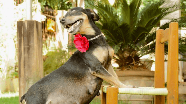 One day before giving birth, this adorable dog had one of the greatest maternity shoot of all time.