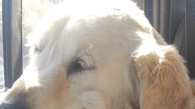 Dog coming off surgery pulls the most hilariously blissful face as he ponders life's secrets.