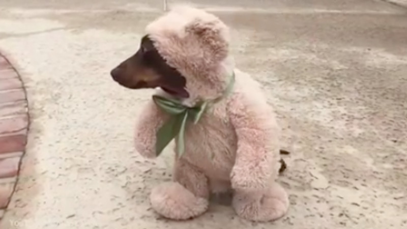 Just a (f-ing amazing) video of a dog dressed up as (the most adorable) teddy bear.