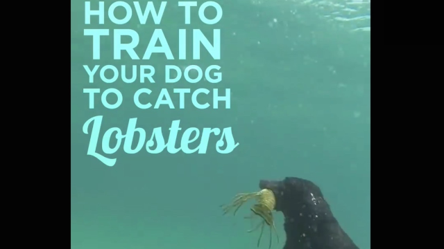 'How To Train Your Dog To Catch Lobsters' seems like a lot of work, but it's fun to watch.