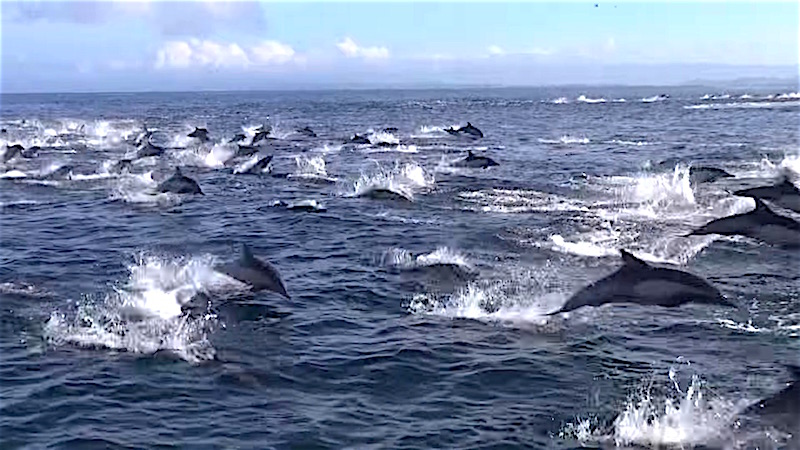 This pod of 1,000 dolphins escaping hungry killer whales is not the PR orcas need right now.