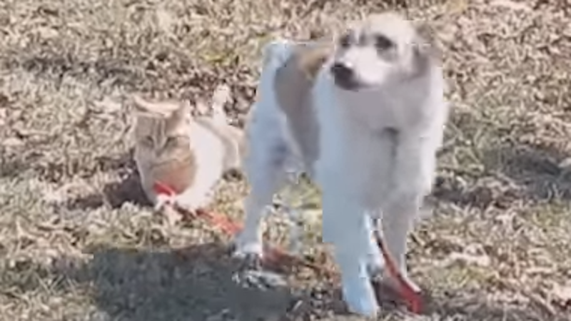 Watch a cat hold a dog's leash and not let it play because it's the worst.