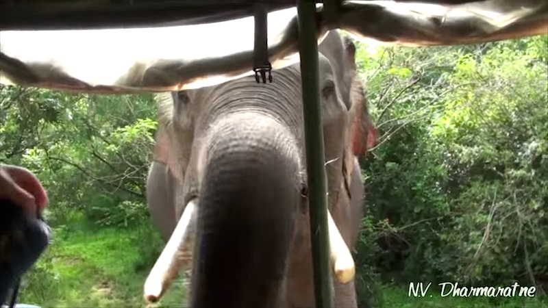 Elephants are cute except when they're ripping apart your truck while you're in it.