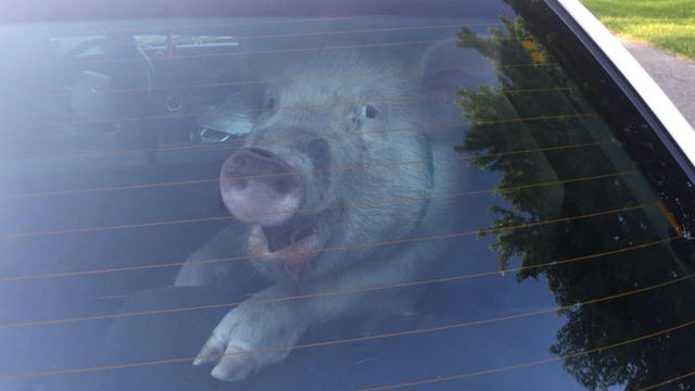 Escaped pig in Michigan terrorizes woman; poops in the last place you should poop.