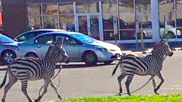 You didn't happen to see two escaped zebras running around Philly yesterday, did you?