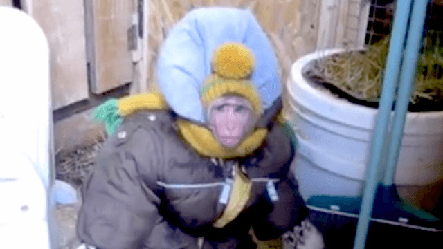 A monkey named Fedor in a snowsuit visiting his goat friends. That is all. Goodnight.
