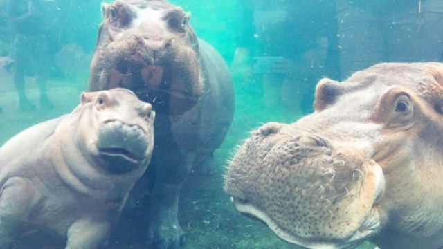 Fiona the Hippo Update: Family Reunion as Father Joins Fiona and Bibi