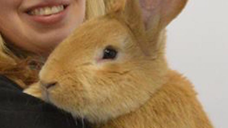 This Continental Giant rabbit up for adoption will likely smother his new owner with love (and weight).