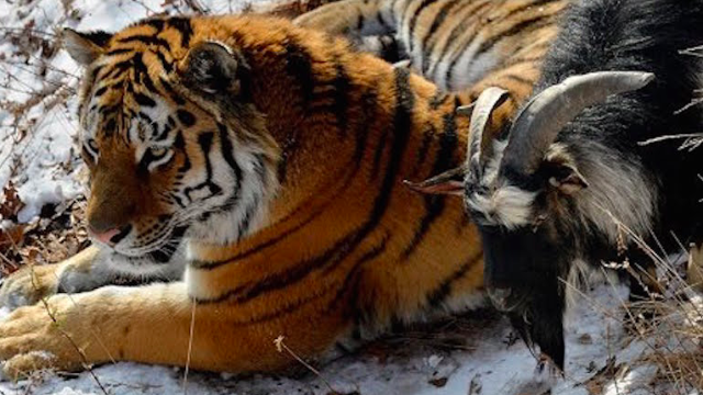 This goat was put in a tiger's pen as lunch, but now he's calling the shots.