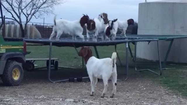 Bouncy goats + bouncy trampoline = bouncy feelings.