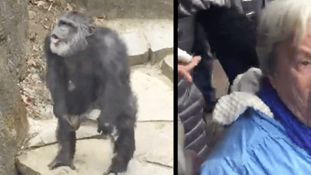 The unthinkable happened to this grandma at the chimp exhibit. Yes, that.