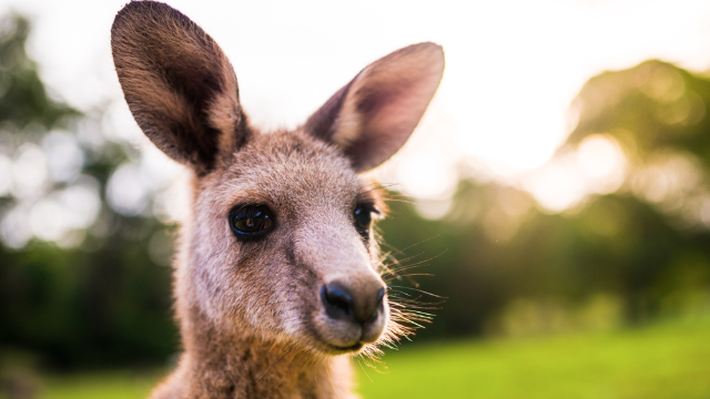 Sorry everyone, that 'grieving' kangaroo from the viral photo is actually just super aroused.