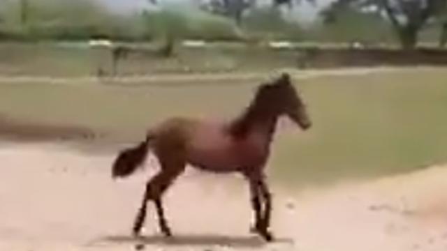 Ha ha this baby horse runs funny.