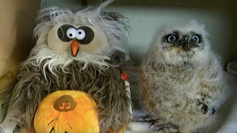 This live owl dancing with a fake owl to 'The Monster Mash' is the only Halloween video you need.