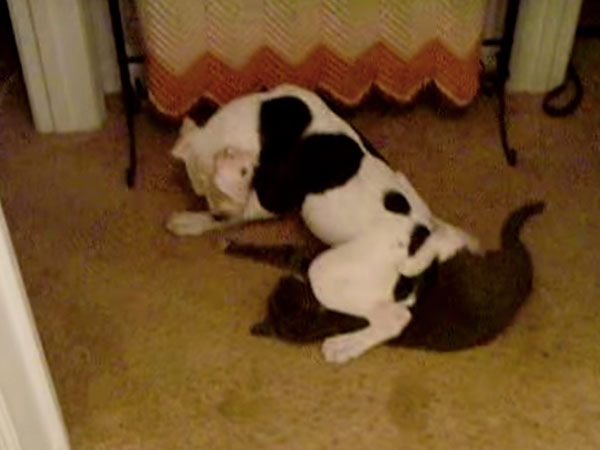 Here's a whole bunch of dogs using cats as their personal La-Z-Boys.