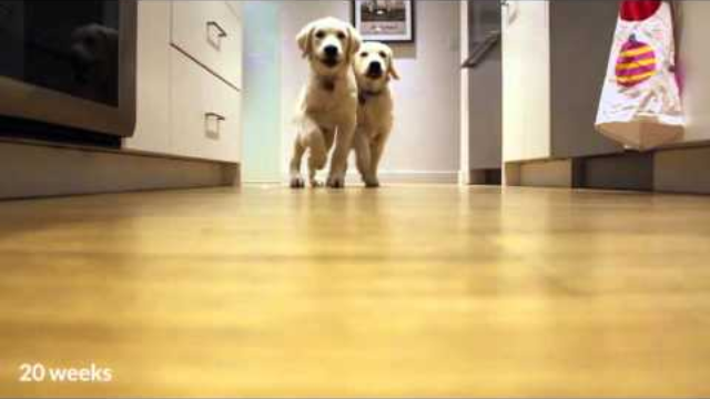 How fast do puppies grow? Watch galloping Goldens go from 11 weeks to 11 months in 90 seconds.