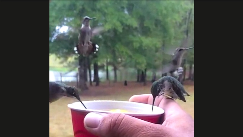 Righteous party hummingbirds love drinking out of a red Solo cup like tiny beautiful bros.