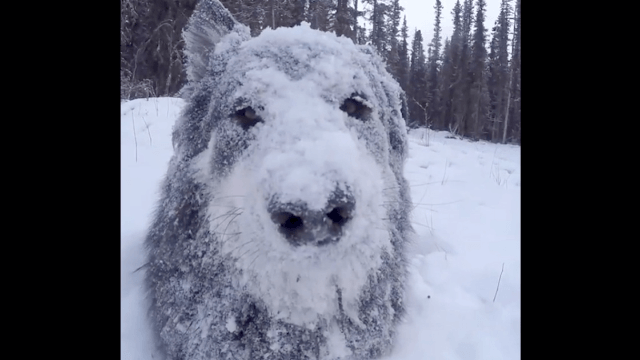Seeing how much this Husky puppy loves the snow will make you sad it's spring.