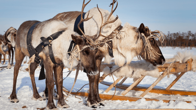 Domino's is training reindeer to deliver pizza in Japan. What could go wrong?