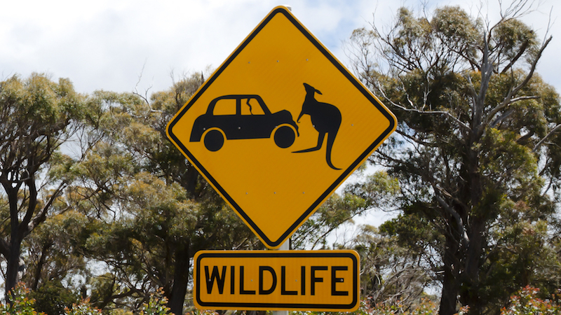 Australian man's dash cam captures a kangaroo launching an airborne assault on his car.