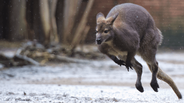 A kangaroo used a woman's breast implants as a launching pad. They popped.