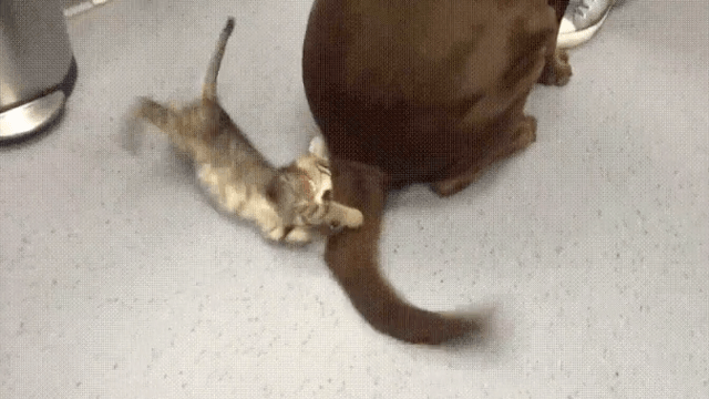 This kitten is losing a battle with an oblivious dog's tail, but it is trying so hard.