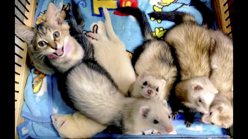 Rescue kitten saved, starts new life with the help of six weaselly big brothers.