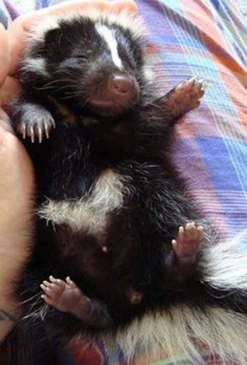 how to catch a baby skunk