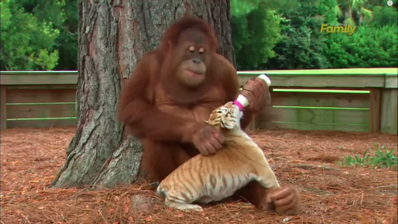 "Let this orangutan bottle-feeding tiger cubs be our ""thank you"" to adoptive moms this year."