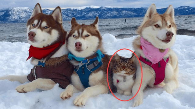 Rescued kitten raised by huskies is now a cat who thinks she's a big, adventurous dog.