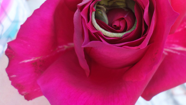 It may be a really awful day, but there's still this lizard sleeping inside a rose.