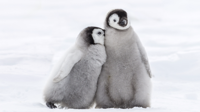 Woman furious about gay penguins at zoo accidentally reveals that homosexuality isn't a choice.