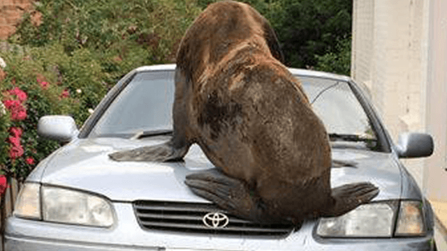 Australian police give off major 'Arrested Development' vibes in pun-filled Facebook post about loose seal.