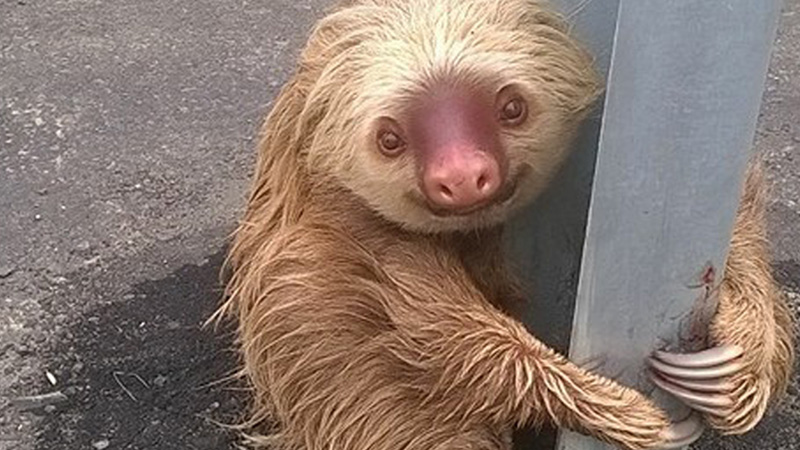Why did the lost sloth cross the road in Ecuador? Who cares, the rescue photos are adorable!