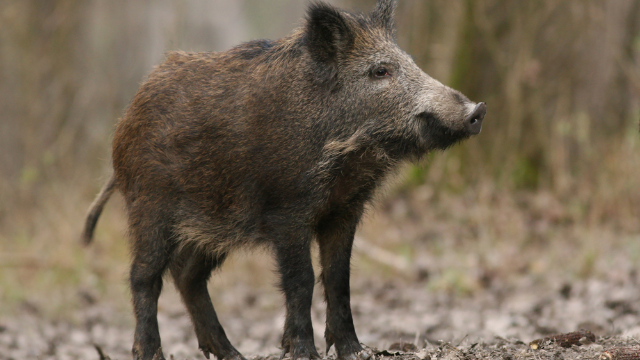 Man tweets about need for 'assault weapon' to deal '30 to 50 feral hogs.'