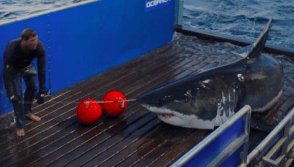 Mary Lee: Shark Tracker Follows Famed Great White's Location