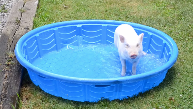 Forget your sh*tty week with this mini pig playing in a pool.