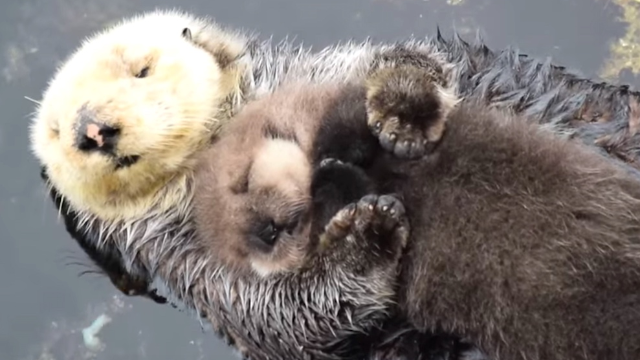 1-day-old otter naps on mom's belly, ruins you for other baby animal videos forever.