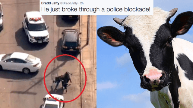 Reporter giddily live tweets high-drama NYPD 'standoff' with a loose cow on-the-run.